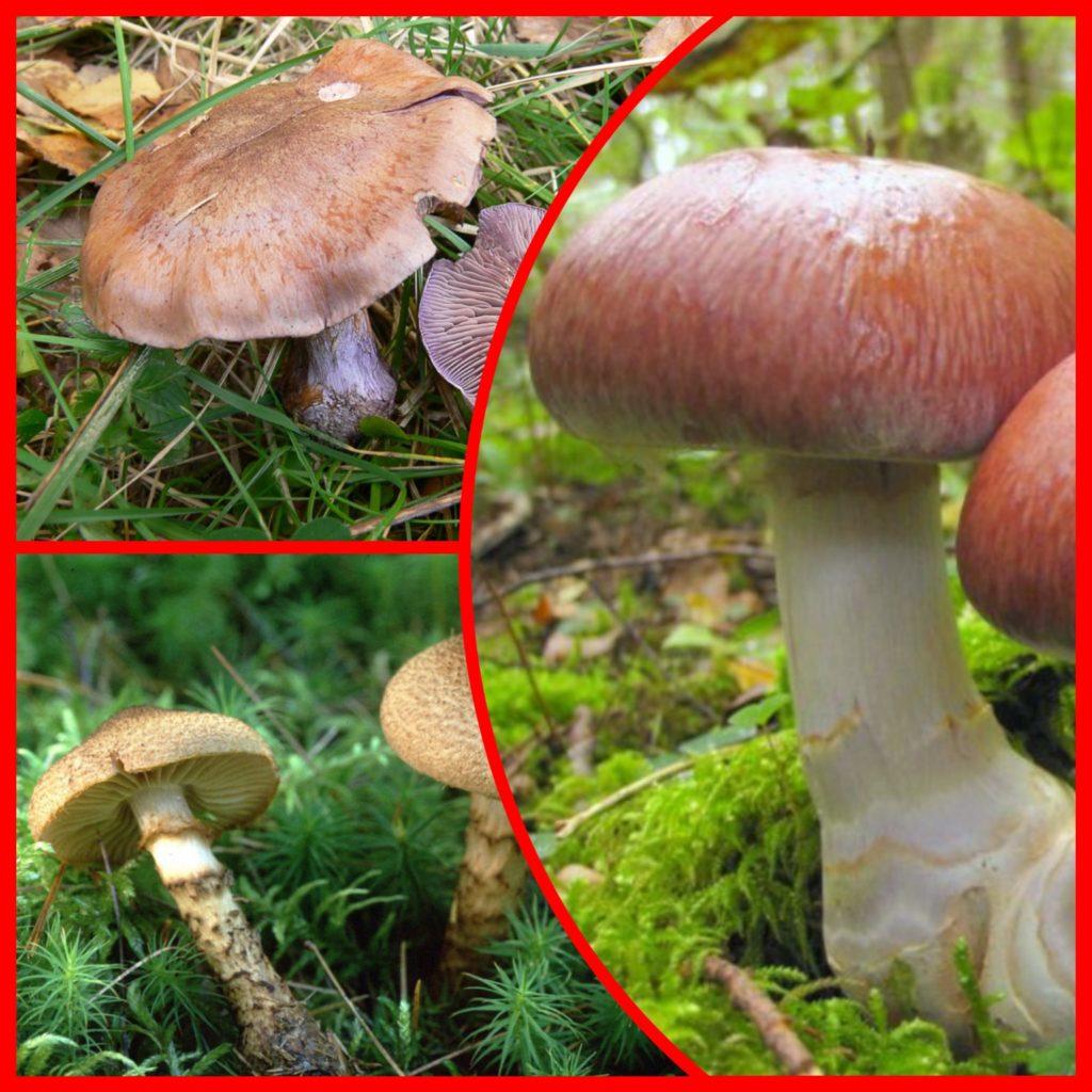 Разновидности гриба паутинника