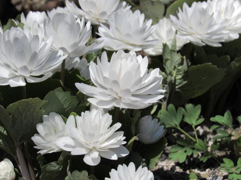 5 редких садовых цветов, которые станут изюминкой вашего цветника