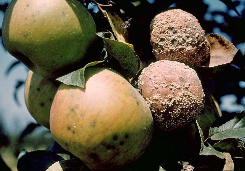Монилиоз: меры борьбы с гнилью на плодах