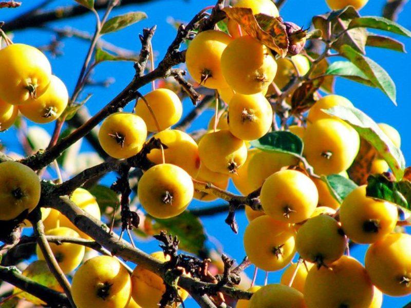 Яблоня Китайка: ее преимущества и недостатки