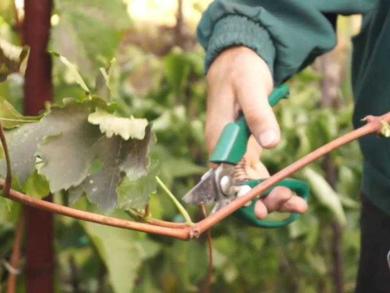 Как посадить черенки винограда осенью. Сможет даже новичок