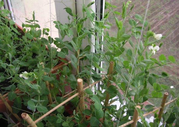 «Горошины для принцессы» и не только в любое время года — устраиваем огород на подоконнике и выращиваем горох