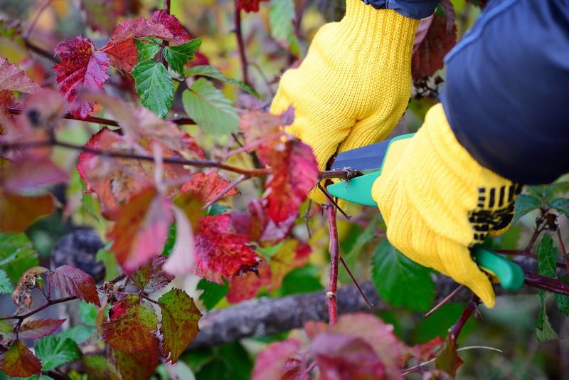Ежевика осенью: как подготовить кустарник к зиме