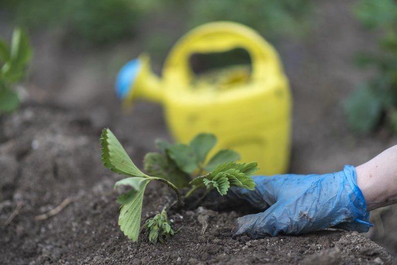 Суперфосфат — отличное удобрение для всего огорода. Как я использую его для разных культур