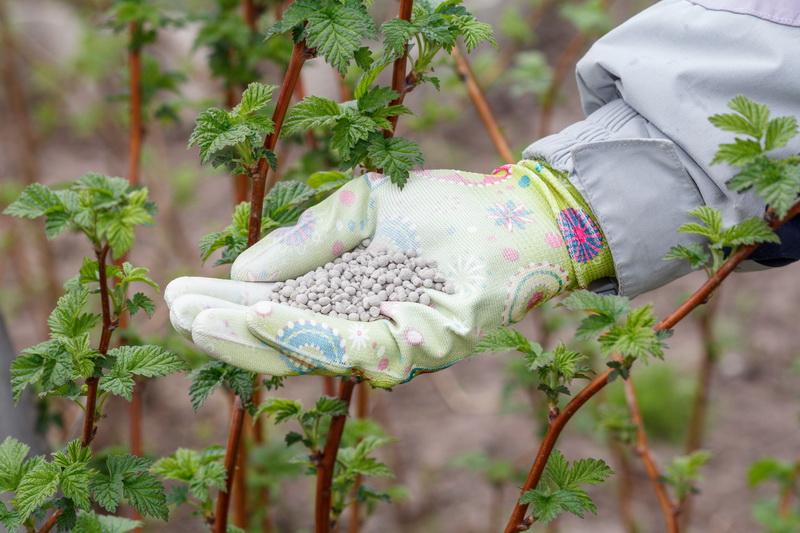 Чем я подкармливаю малину осенью — мой ценный опыт для отличного урожая. Жалею, что не знал всего этого в самом начале