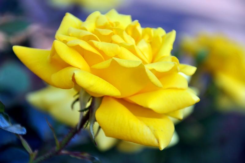 Моим розам завидуют соседи. Что я делаю с кустами после цветения (сентябрь) из года в год