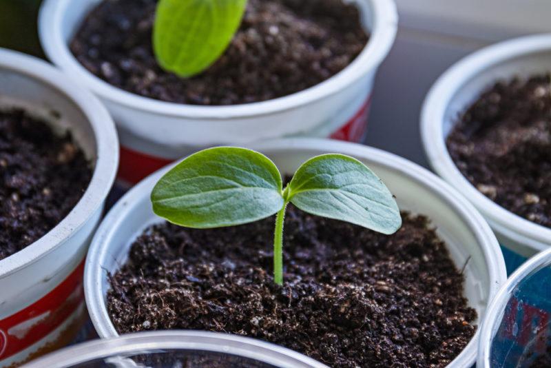«Огород на подоконнике круглый год» — выращиваем огурцы, делимся секретами домашнего урожая