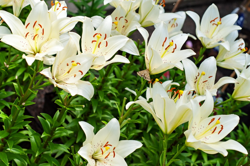 Как я делю и пересаживаю многолетники осенью — растения отлично развиваются и пышно цветут
