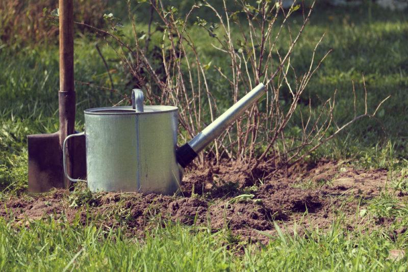 6 твердых правил обрезки черной смородины Осенью. Жалею, что не делал этого раньше и терял урожай