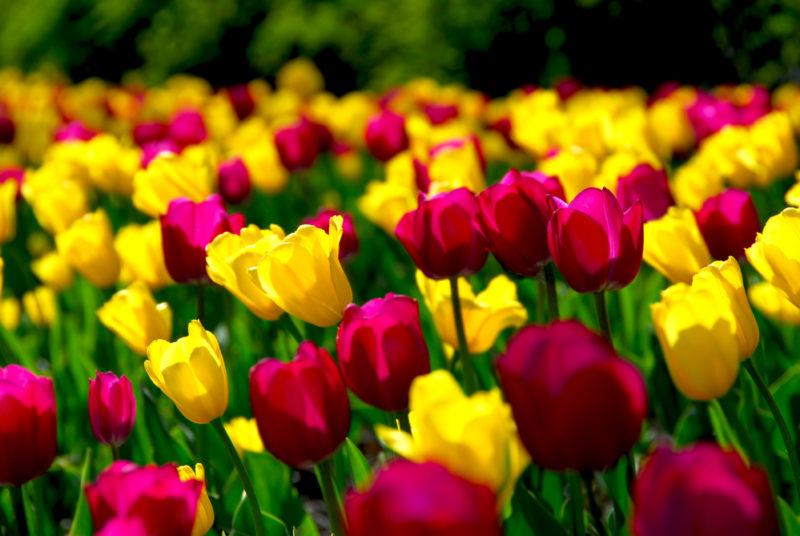 Когда и как правильно сажать тюльпаны осенью, чтобы весной они радовали прекрасным цветением