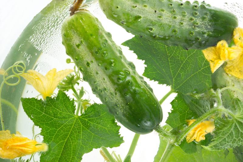 «Расти, огурчик, большой и маленький» — урожайность тепличных огурцов и способы ее повышения