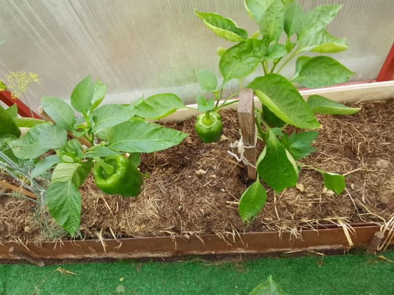 Правильная формировка перца для обильного урожая. Секреты выращивания сладкого перца