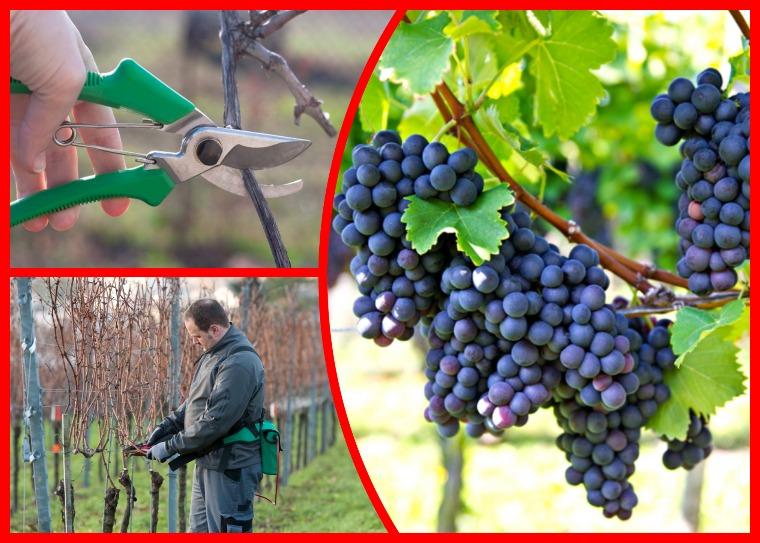 Как «подстричь» виноград осенью — тонкости и нюансы осенней обрезки