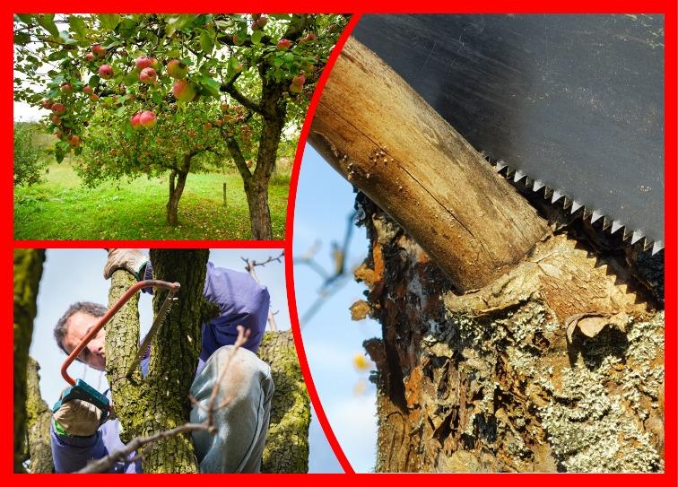 Лишний ствол на плодовом дереве — что я делаю в этом случае и как. Очень важно действовать правильно
