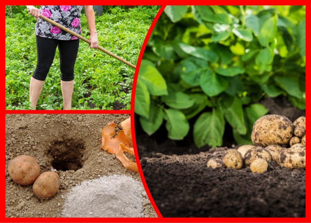 Кормовой картофель: как отличить от столового, описание и особенности