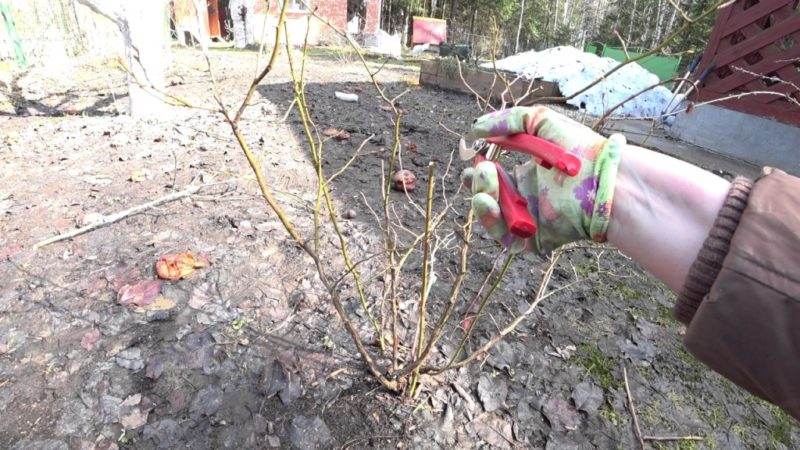 Обязательный уход за голубикой осенью. Без этого урожая в следующем сезоне можно не дождаться