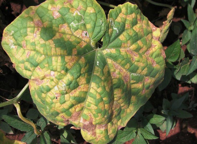 Если на листьях огурцов появляются коричневые и бурые пятна, действовать надо немедленно — как бороться с «напастью»