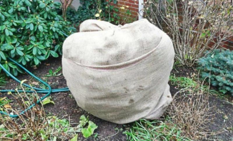 Каждую осень я готовлю свою Форзицию к холодам: советы опытных садоводов