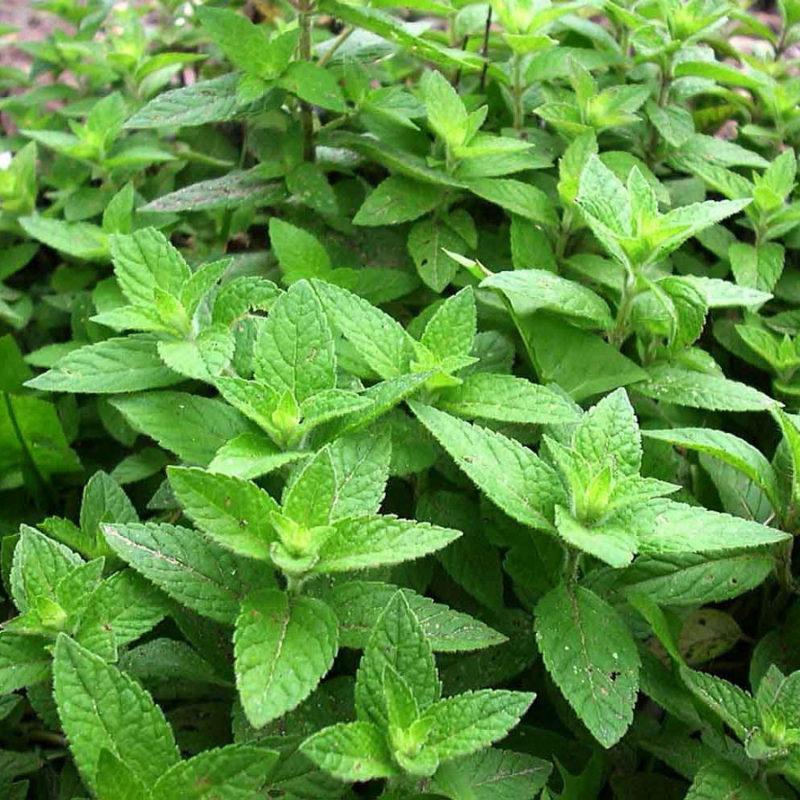 Мои надежные помощники в борьбе с сорняками — декоративные растения, способные вытеснить с участка всё «лишнее» и занять его место