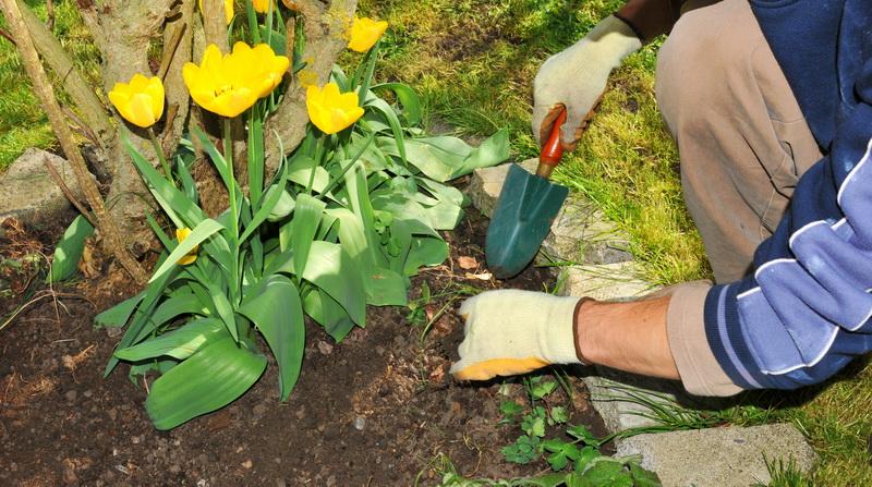 Чего не следует допускать при осенней посадке луковиц тюльпанов? Жалко, что не знал этого раньше