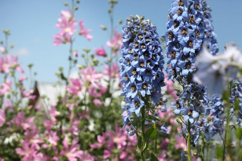 Эти 5 цветов-однолетников всегда сажаю под зиму — получаю пышное раннее цветение и экономлю время