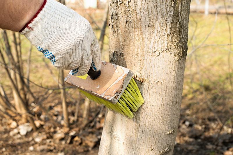Мой топ-3 составов для осенней побелки деревьев. Рассказываю про принципы, достоинства и недостатки