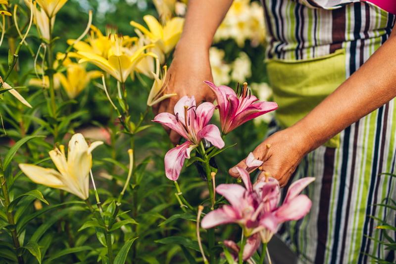 Осень — отличное время для посадки и пересадки лилий. Как я провожу эти процедуры со своими цветами