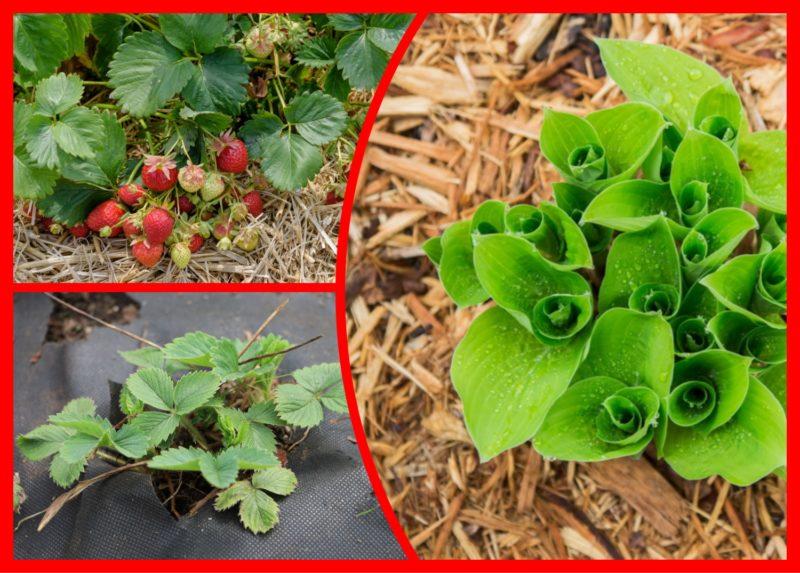 Теперь я всегда провожу мульчирование клубники осенью и весной: какие материалы отлично помогают забыть о сорняках