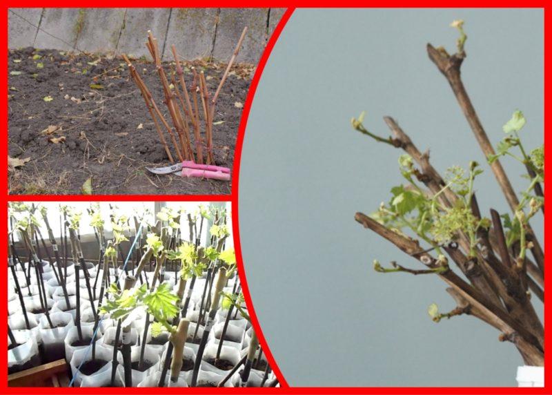 Черенкование винограда — мой любимый способ размножения. Раскрываю тонкости процедуры