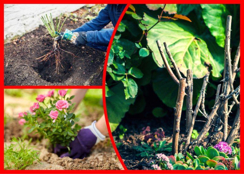 Правильная осенняя посадка розы: простые и ценные советы от опытных цветоводов