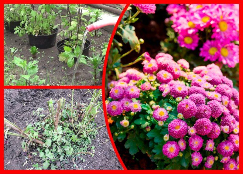 Многолетние хризантемы — изысканность и шик на моем участке: уход и подготовка к зиме для сохранения красоты