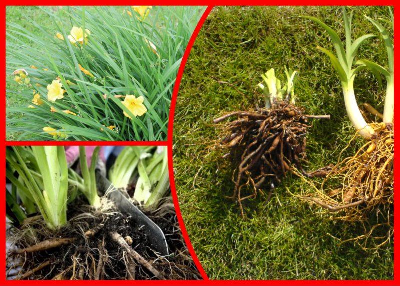 Как можно размножать лилейники — 5 результативных способов