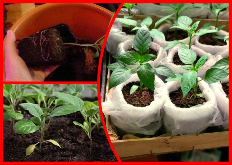 Осенью не вырываю кусты перца, а переношу их в дом — выращиваю круглый год на подоконнике и продлеваю жизнь кустам до 5 лет