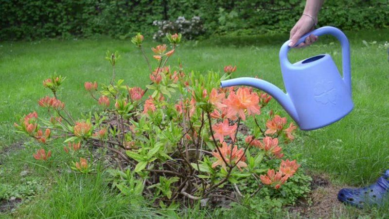 Мои рододендроны осенью — как я ухаживаю за кустарником осенью для шикарного цветения в новом сезоне