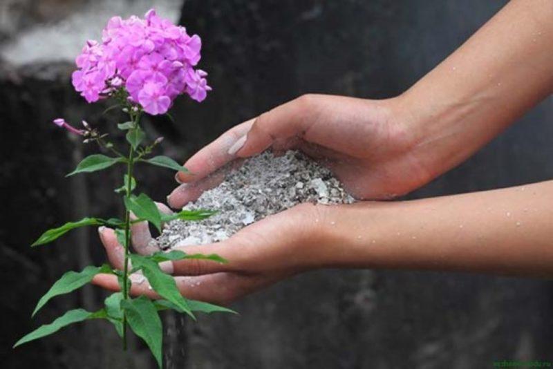 Нюансы подготовки флоксов к зиме — 5 шагов, которые я обязательно выполняю, чтобы сохранить красоту растений