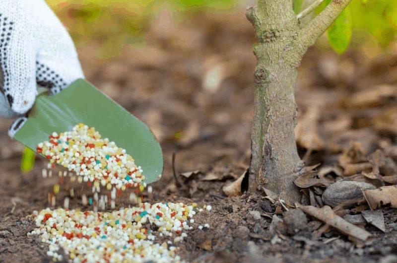 Чем я подкармливаю свои вишни и черешни для здорового роста и хорошего урожая