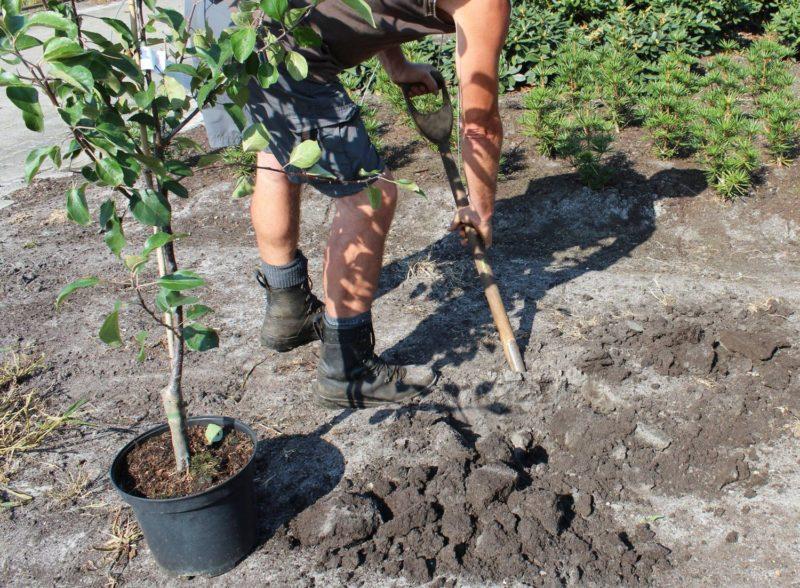 5 плодовых деревьев, которые я предпочитаю сажать осенью, — и как я это правильно делаю