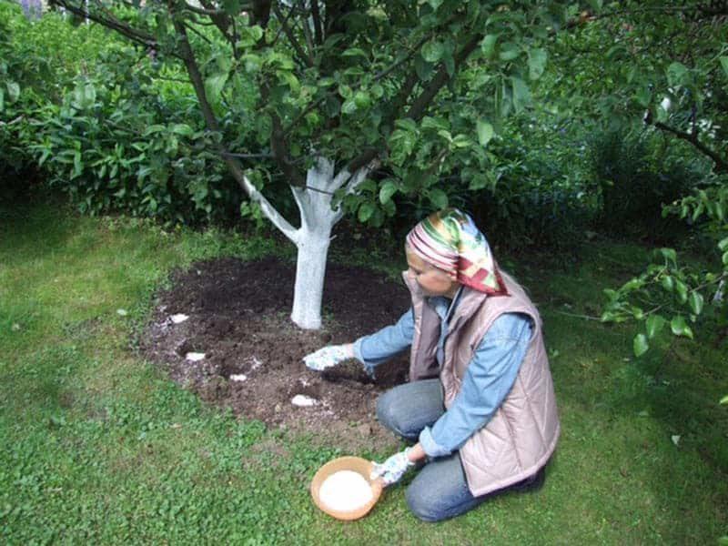 Чем я подкармливаю яблони и груши в своем саду осенью — отличные урожаи обеспечены, сад не боится холодов, болезней и вредителей